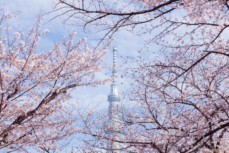 Tokyo Sky Tree entre cerezos en flor