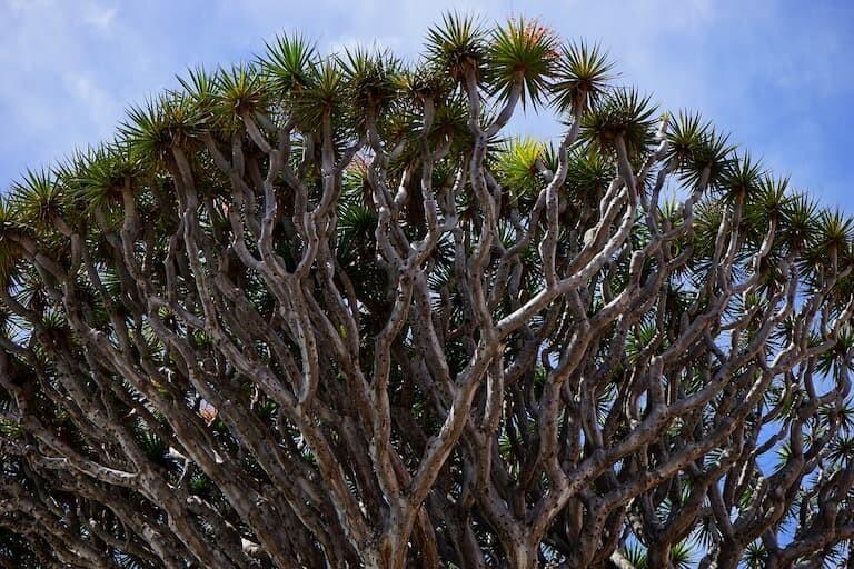 Las ramas del Drago parecían el Dragón de 100 cabezas.