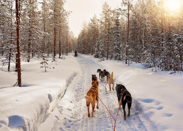 Trineo tirado por Huskies en Laponia