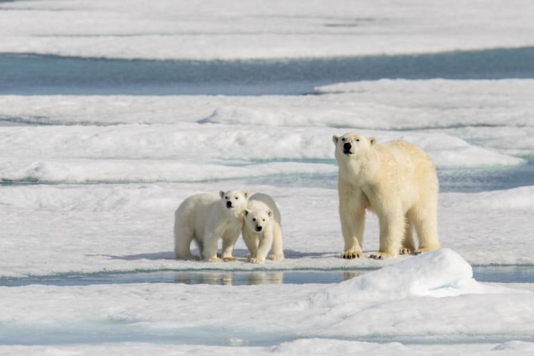 Familia de Osos polares en Noruega